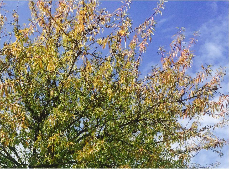 bademovo drvo